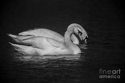 Photograph - Mute Swans In Black And White by David Bearden