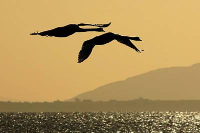 Mute Swans In Flight In Galway Ireland Art Print
