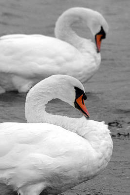 Photograph - Mute Swans by Pierre Leclerc Photography