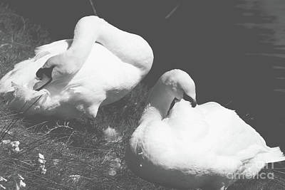 Photograph - Mute Swans Resting by Cassandra Buckley