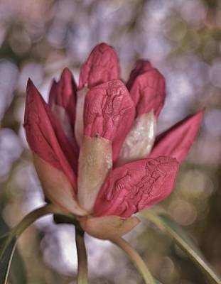 Photograph - Muted Rhododendron Bud by Richard Brookes