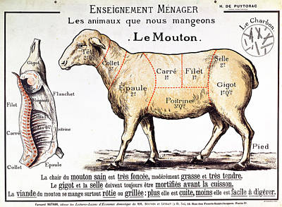 Sheep Drawing - Mutton by French School