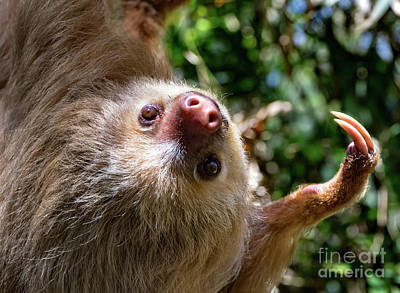 Animals Royalty-Free and Rights-Managed Images - My Adorable Sloth Face by Norma Brandsberg