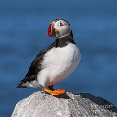 Machias Seal Island Photograph - My Best Side.. by Nina Stavlund