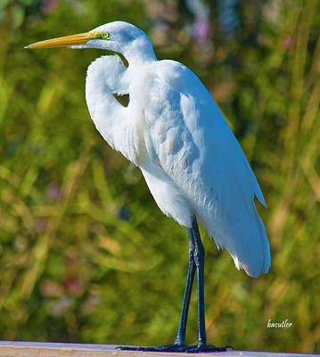 Egret Photograph - My Better Side by Betsy Knapp