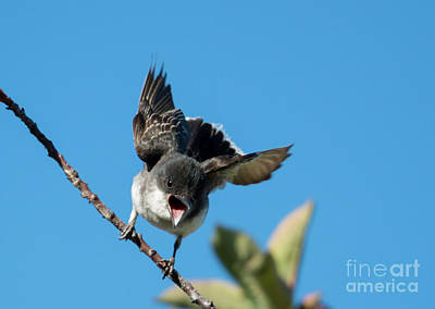 Kingbird Photograph - My Branch by Mike Dawson
