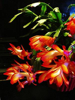 Photograph - My Christmas Cactus by Rosita Larsson