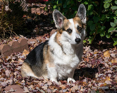 Photograph - My Cute Corgi In Autumn by Mick Anderson