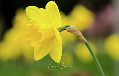 Photograph - My Daffy by Nick Boren