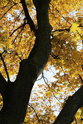 Photograph - My Fall Maple 1 2017 by Mary Bedy