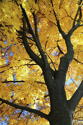 Photograph - My Fall Maple 2016 2 by Mary Bedy