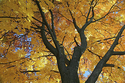 Photograph - My Fall Maple 2016 3 by Mary Bedy