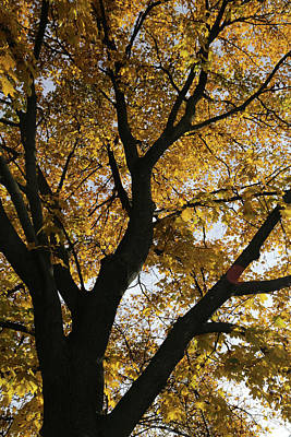 Photograph - My Fall Maple 3 2017 by Mary Bedy