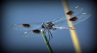 Photograph - My Favorite Dragonfly by Kimberly Woyak