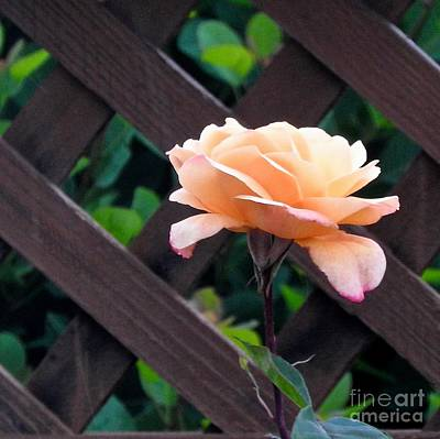 Photograph - My Favorite Rose by Phyllis Kaltenbach