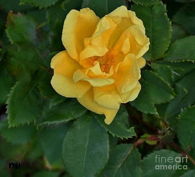 Photograph - My First Yellow Rose by Marsha Heiken