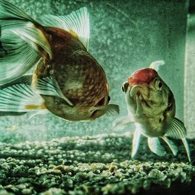 Animals Photograph - My Fish #fish #aquarium #pets #animals by Rafa Rivas