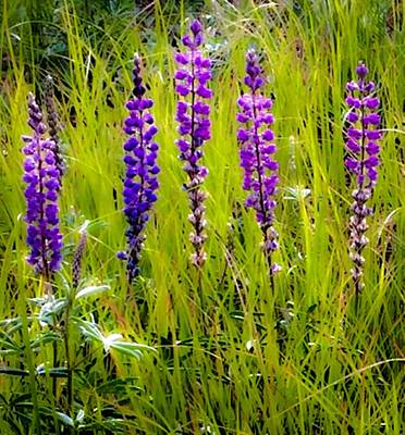 Photograph - My Five Lupines by Jennifer Lake