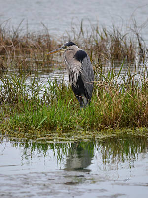 Photograph - My Great Blue Heron by rd Erickson
