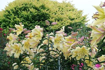 Photograph - My Lilies by Nancy Pauling