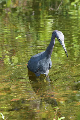 Photograph - My Little Blue Heron Friend by William Tasker