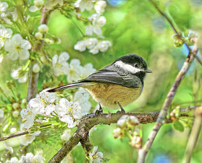 Birds Rights Managed Images - My Little Chickadee in the Cherry Tree Royalty-Free Image by Jennie Marie Schell