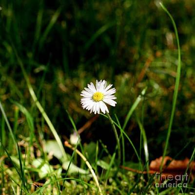 Photograph - My Little Daisy by Isabella F Abbie Shores FRSA