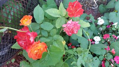 Photograph - my little Mexican roses by Yvonne Breen