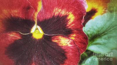 Photograph - My Little Pansy by Isabella F Abbie Shores