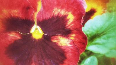 Photograph - My Little Pansy by Yoursbyshores Isabella Shores