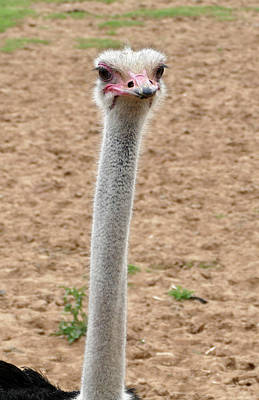Photograph - My Long Neck by Laurel Powell