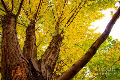 Gold Photograph - My Maple Tree by James BO  Insogna