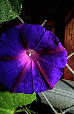 Photograph - My Morning Glory by Camille Lopez