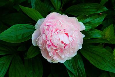Photograph - My Mother's Peony by Polly Castor