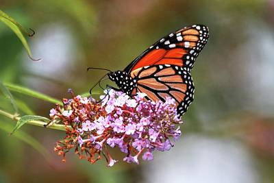 Photograph - My Only Monarch Butterfly This Year by Carol Montoya