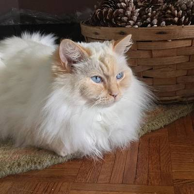 Photograph - My Ragdoll Cat Honey by Patricia E Sundik