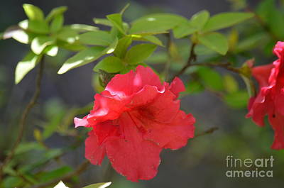 Photograph - My Red Azalea 2 by Maria Urso