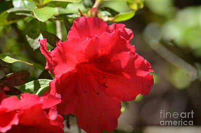 Photograph - My Red Azalea by Maria Urso