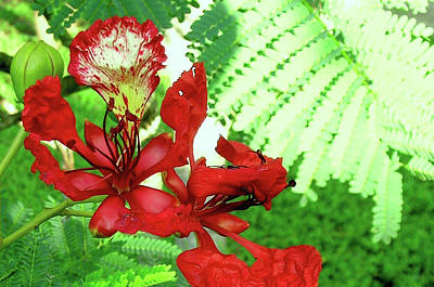 My Royal Poinciana Art Print by James Temple