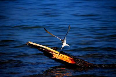 Photograph - My Tern To Perch by Amanda Struz