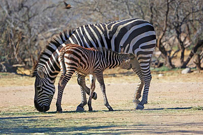 Zebra Photograph - My Valentine by Donna Kennedy