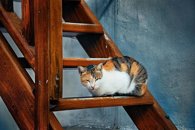 Photograph - Mykonos Cat by Songquan Deng