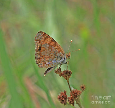 Bugs Photograph - Mylitta Crescent by Gary Wing