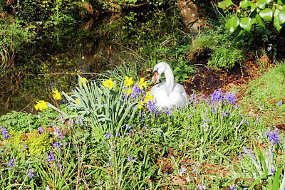 Photograph - Mylor Bridge Nesting Swan by Terri Waters