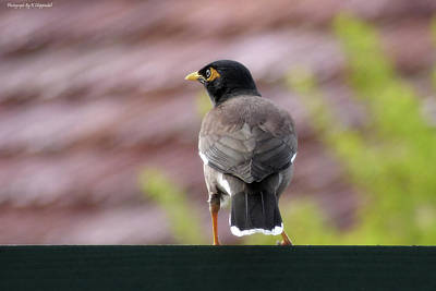 Digital Art - Myna Bird 001 by Kevin Chippindall