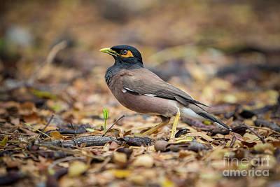 Photograph - Myna Bird 1 by Daniel Knighton