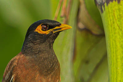 Common Myna Digital Art - Myna Close-up by Ron Racine