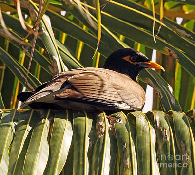Common Myna Photograph - Myna In The Palms by Jennifer Robin