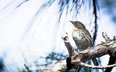Photograph - Myrtle Warbler by Van Sutherland