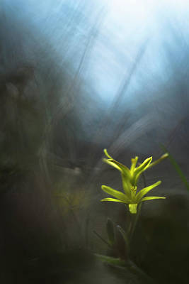 Mysterious Gagea Flowers In The Grass Art Print